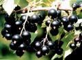 Плодовые крупномеры и саженцы Смородина чёрная Селеченская