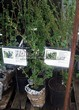Саженцы и взрослый плодовый кустарник Смородина чёрная Селеченская