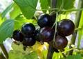 Плодовые крупномеры и саженцы Смородина чёрная Ядрёная