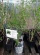 Саженцы и взрослый плодовый кустарник Смородина чёрная Ядрёная