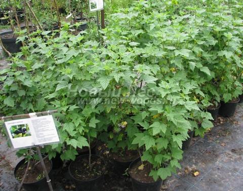 Плодовые кусты Смородина черная сорт Ядреная на выставочной площадке (Московская область)