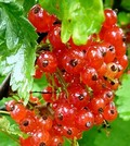 Плодовые крупномеры и саженцы Смородина красная Голландская красная