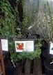 Саженцы и взрослый плодовый кустарник Смородина красная Голландская красная