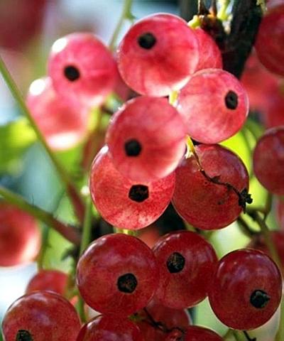 Смородина красная Розовый жемчуг