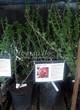 Саженцы и взрослый плодовый кустарник Смородина красная Розовый жемчуг