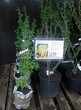 Саженцы и взрослый плодовый кустарник Смородина красная Версальская белая