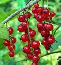Плодовые крупномеры и саженцы Смородина красная Виксне