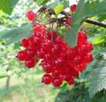 Плодовые крупномеры и саженцы Смородина красная Натали