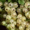 Плодовые крупномеры и саженцы Смородина красная Смольяниновская (Белая Смольяниновой) (белоплодная)
