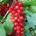 Плодовые крупномеры и саженцы Смородина красная Версальская красная