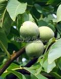 Плодовый крупномер Орех грецкий (Juglans regia)