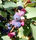Плодовый крупномер Ирга круглолистная (Amelanchier ovalis)