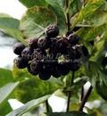 Плодовый крупномер Черноплодная рябина (Арония черноплодная) (Aronia melanocarpa)
