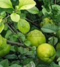 Плодовые крупномеры и саженцы Айва японская (Хеномелес японский)