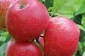 Плодовые крупномеры и саженцы Яблоня домашняя Хонейкрисп (Хоней Крисп, Хани Крисп)
