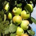 Плодовые крупномеры и саженцы Яблоня домашняя Янтарное ожерелье (колонновидная)