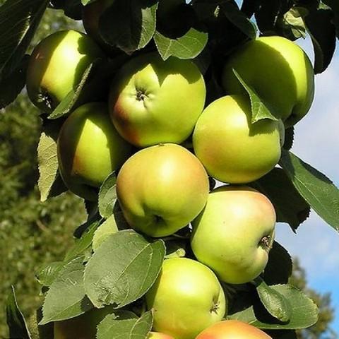 Яблоня домашняя Янтарное ожерелье