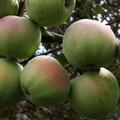 Плодовые крупномеры и саженцы Яблоня домашняя Апрельское