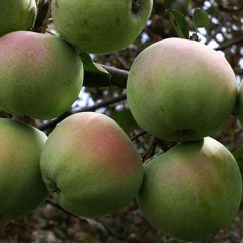 Яблоня домашняя Апрельское