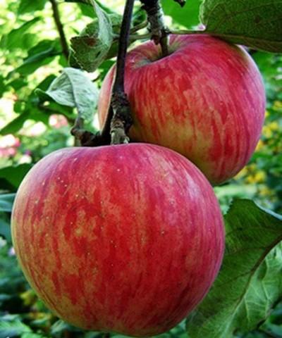 Яблоня домашняя Россошанское полосатое