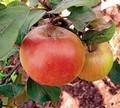 Плодовые крупномеры и саженцы Яблоня домашняя Свежесть