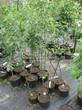 Саженцы и плодовые крупномерные деревья Яблоня домашняя Свежесть