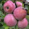 Плодовые крупномеры и саженцы Яблоня домашняя Память Ульянищева