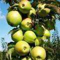 Плодовые крупномеры и саженцы Яблоня домашняя Президент (колонновидная)