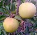 Плодовые крупномеры и саженцы Яблоня домашняя Корей