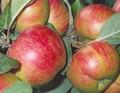 Плодовые крупномеры и саженцы Яблоня домашняя Коричное новое