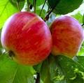 Плодовые крупномеры и саженцы Яблоня домашняя Летнее нежное