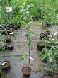 Саженцы и плодовые крупномерные деревья Яблоня домашняя Летнее нежное