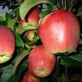Плодовые крупномеры и саженцы Яблоня домашняя Лигол