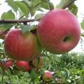 Плодовые крупномеры и саженцы Яблоня домашняя Мичуринское крупноплодное