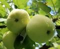 Плодовые крупномеры и саженцы Яблоня домашняя Белый налив (Налив белый)