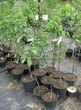 Саженцы и плодовые крупномерные деревья Яблоня домашняя Белый налив (Налив белый)