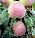 Плодовые крупномеры и саженцы Яблоня домашняя Орловская Есения (колонновидная)