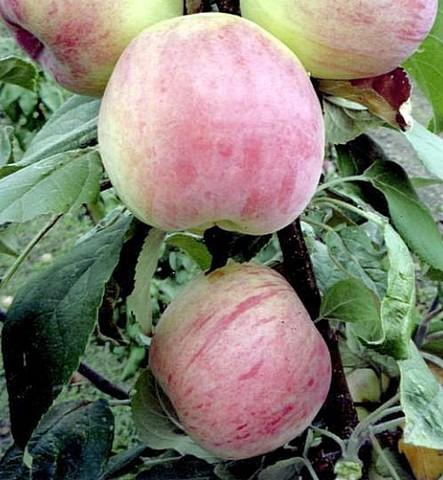 Яблоня домашняя Орловская Есения