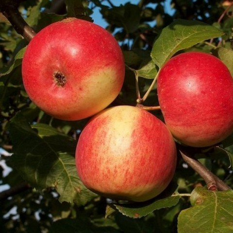 Яблоня домашняя Зарянка