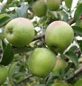 Плодовые крупномеры и саженцы Яблоня домашняя Изумительное (Россошанское вкусное)