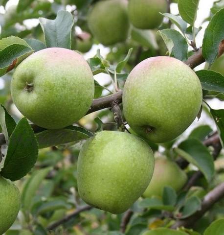Яблоня домашняя Изумительное