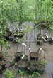 Саженцы и плодовые крупномерные деревья Яблоня домашняя Китайка золотая ранняя