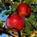 Плодовые крупномеры и саженцы Яблоня домашняя Бельфлёр-китайка (китайка)