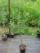 Саженцы и плодовые крупномерные деревья Яблоня домашняя Бельфлер-китайка
