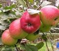 Плодовые крупномеры и саженцы Яблоня домашняя Веньяминовское