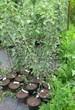 Саженцы и плодовые крупномерные деревья Яблоня домашняя Веньяминовское