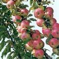 Плодовые крупномеры и саженцы Яблоня домашняя Гирлянда (колонновидная)
