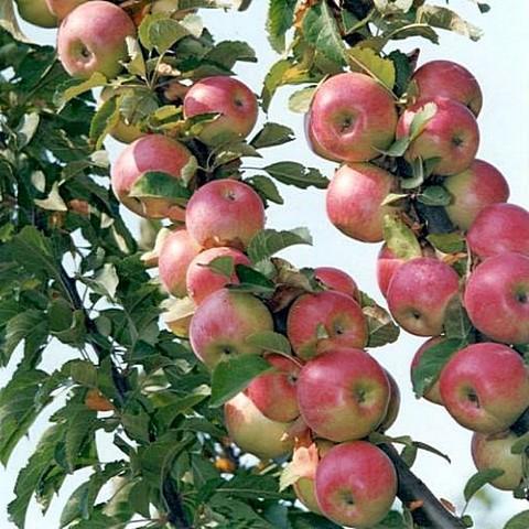 Яблоня домашняя Гирлянда
