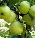 Плодовые крупномеры и саженцы Яблоня домашняя Антоновка обыкновенная