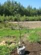 Саженцы и плодовые крупномерные деревья Яблоня домашняя Антоновка обыкновенная